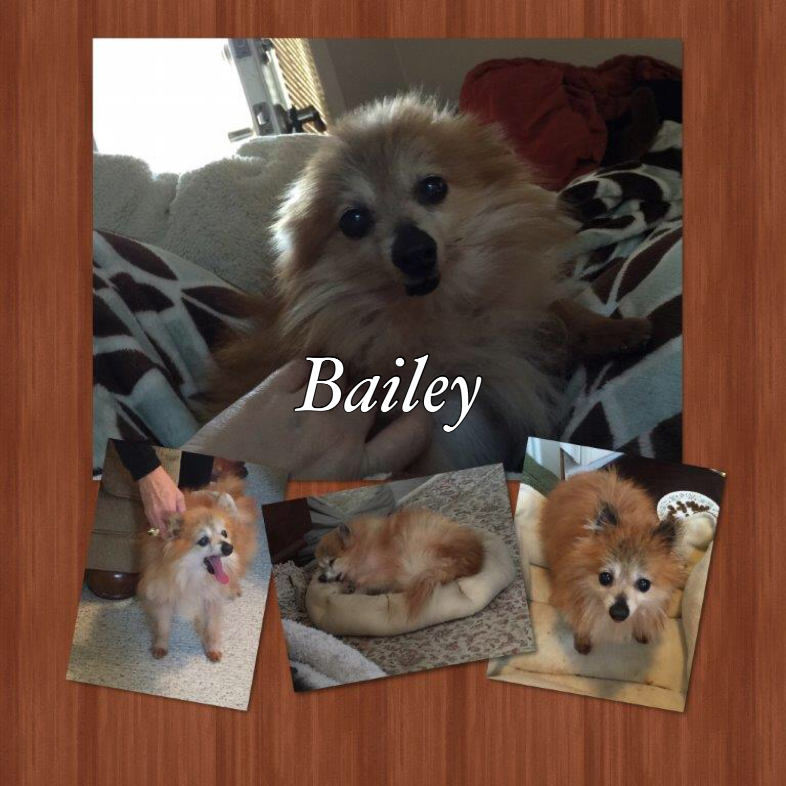 Available Rescue Bailey Super Sweet Senior Pomeranian Club Of