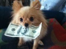 my_pomeranian_stealing_my_cash_by_xxdelilahxxxcharmxx-d4dgcyw